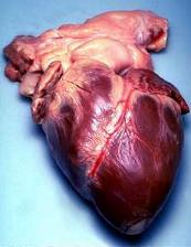 Photo of a removed human heart