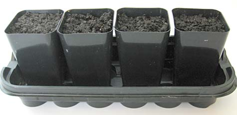 Four plastic pots filled with soil are placed in a shallow container