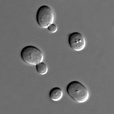 Baker-s yeast (Saccharomyces cerevisiae) using DIC microscopy.