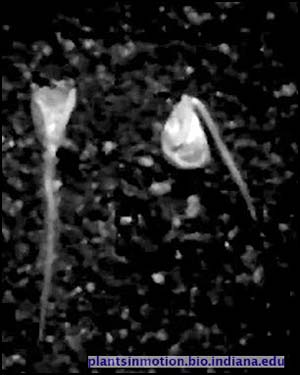 Video screenshot for corn germination