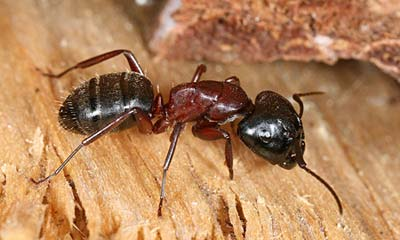 Close up image of a carpenter ant