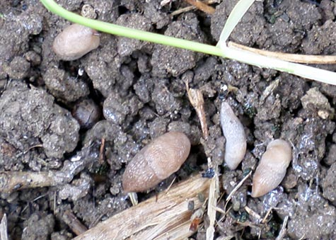 Picture of slugs on soil.