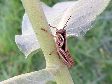 Brown grasshopper on a plant's stem.