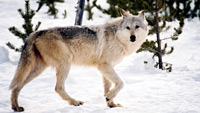 Grey wolf roaming snowy forest in the Midwestern United States.