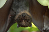 Fruit bats, like this one, may be responsible for Ebola virus transmission to humans in latest Ebola outbreak.