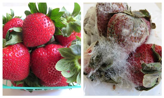 Moldy strawberries are yucky.