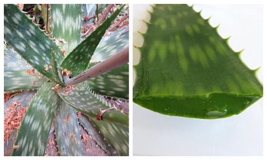 The Aloe Vera plants thick leaves provide gel used in commercial products.