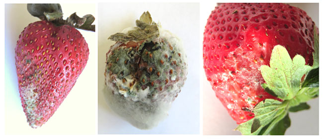 Examples of mold growing on strawberries.