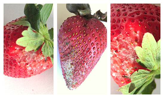 First signs of molding strawberries.