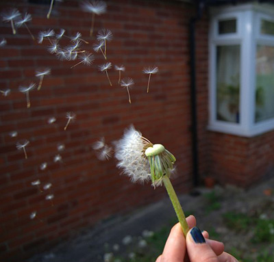 Dandelion seeds are blown through the air
