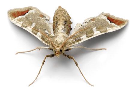 A grass moth.