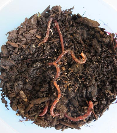 Photo of worms emerging from a pot of soil