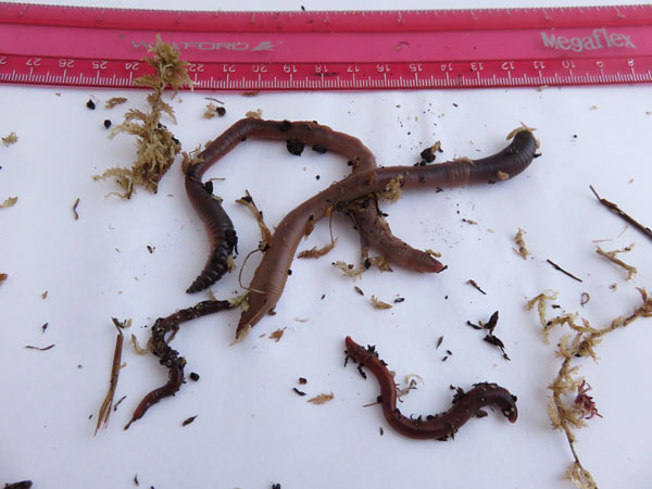 Four earthworms of different sizes