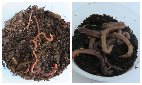 Different sizes of worms dig in.