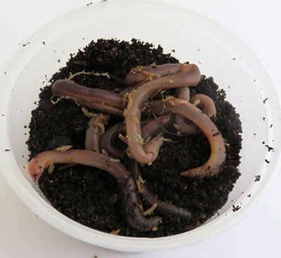 Earthworms and soil fill a plastic bowl