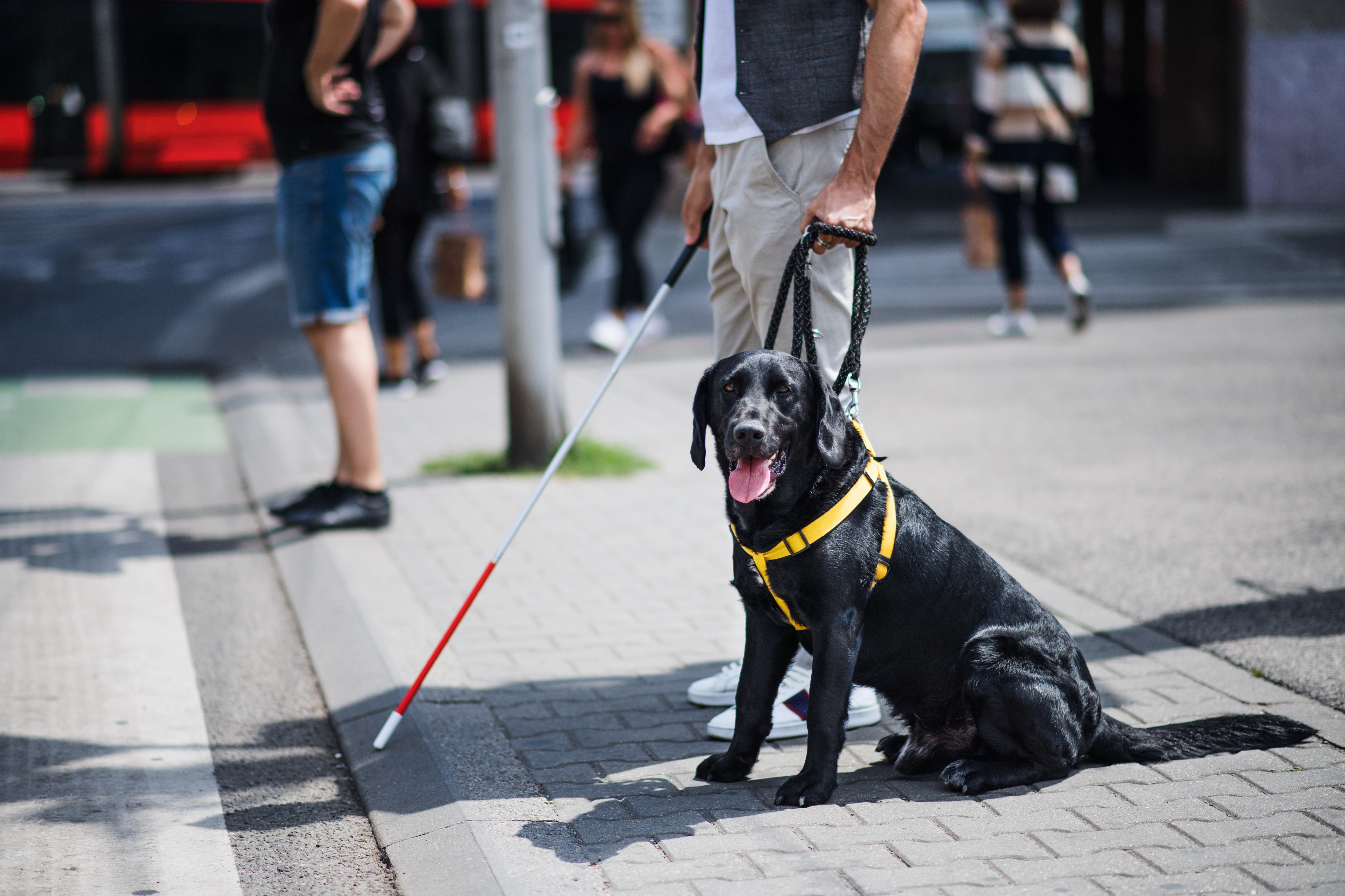 guide dog helping blind person cross streat