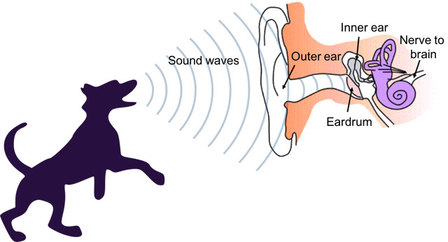 Diagram of sound waves from a dog's bark interacting with the inner mechanisms of the human ear
