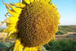 Sunflower facing sun; public domain photo