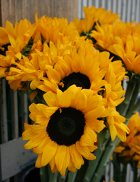 2012-sunflowers2-crop-200px.png