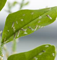 Citrus leaves pest / USDAGOV