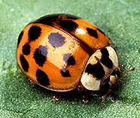 2013-blog-ladybugs.png