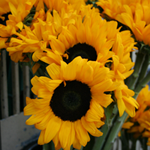 Science and Art: Mutant Sunflowers
