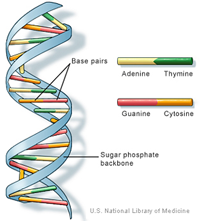 DNA structure double helix