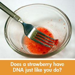 DNA strawberry science experiment