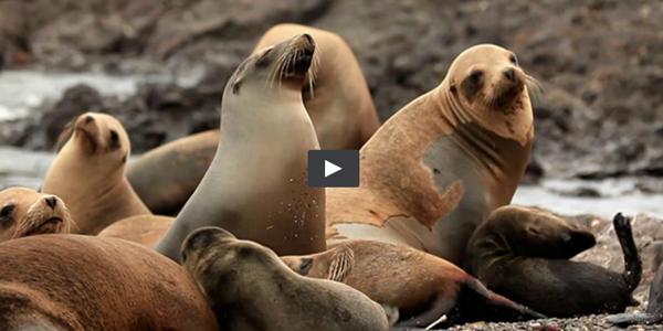 A 'Big Blue Live' Look at Marine Life / Sea lions screenshot from PBS/BBC 'Big Blue Live' video