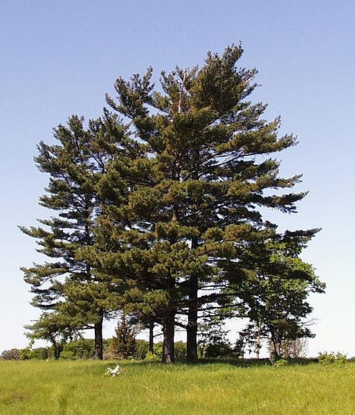 513px-Pinus_strobus_trees.jpg