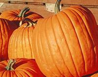 800px-Pumpkins-200.jpg