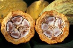cacao-pod-250.jpg